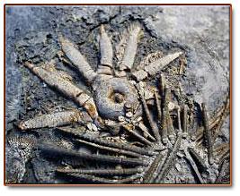 echinoid and crinoid fossils