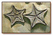 Starfish fossi